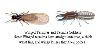 Termites_2
